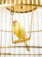 Apple golden cage